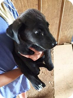 Labrador Retriever Mix Puppy for adoption in Powder Springs, Georgia - Star