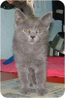 Domestic Shorthair Kitten for adoption in Honesdale, Pennsylvania - Lulu