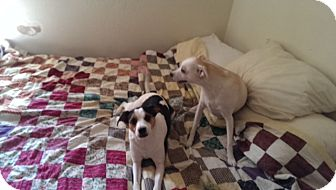 Jack Russell Terrier Mix Dog for adoption in Austin, Texas - Loretta in Princeton, Texas