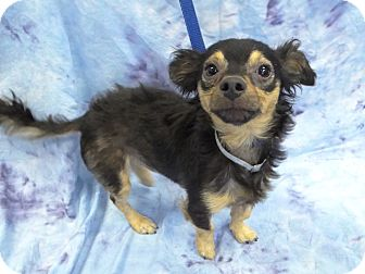 Chihuahua Mix Dog for adoption in Hawthorne, California - David