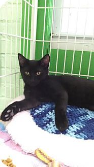 Domestic Shorthair Kitten for adoption in Bloomingdale, New Jersey - Dahlia
