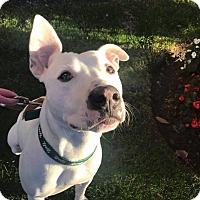 Adopt A Pet :: GUNNER - Cliffside Park, NJ
