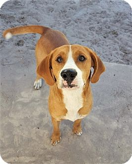 Hound (Unknown Type) Mix Dog for adoption in Umatilla, Florida - Tucker