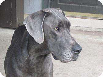 Great Dane Dog for adoption in Pipe Creed, Texas - Storm