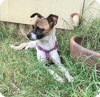 Rat Terrier Mix Dog for adoption in New York, New York - Emily