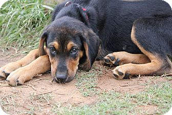 Hound (Unknown Type)/Rottweiler Mix Puppy for adoption in Westport, Connecticut - Hero, the Chill One