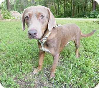 Dachshund Mix Dog for adoption in Mocksville, North Carolina - Dabney