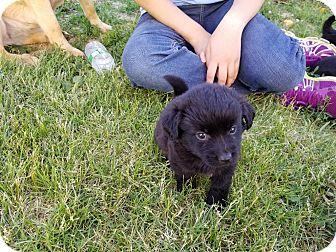 Pekingese/Chihuahua Mix Puppy for adoption in Walthill, Nebraska - Mo