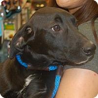 Adopt A Pet :: Tilly - Brooklyn, NY