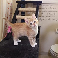 Domestic Mediumhair Cat for adoption in Richmond, California - Taffy