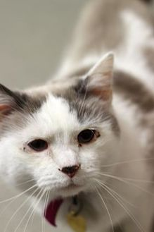 Domestic Shorthair/Domestic Shorthair Mix Cat for adoption in Columbus, Ohio - Florence