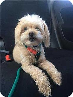 Maltese/Terrier (Unknown Type, Small) Mix Dog for adoption in Encino, California - Blitz