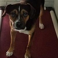 Beagle Mix Puppy for adoption in Camden, Arkansas - Bobby