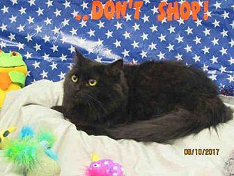Domestic Mediumhair Cat for adoption in Grovetown, Georgia - STINKY