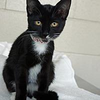 Domestic Shorthair Kitten for adoption in Redding, California - Unicorn