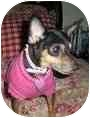 Chihuahua/Miniature Pinscher Mix Dog for adoption in Palatine, Illinois - Gracie