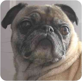 Pug Dog for adoption in Mays Landing, New Jersey - Stella