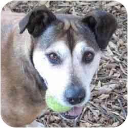 Labrador Retriever/American Pit Bull Terrier Mix Dog for adoption in Berkeley, California - Schoen