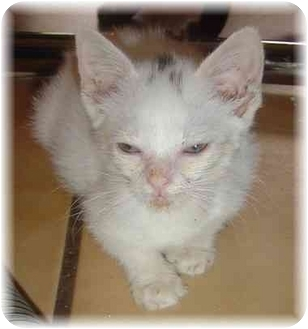 Domestic Shorthair Kitten for adoption in Naples, Florida - Amy