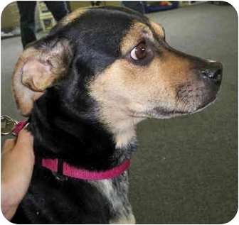 Italian Greyhound/Terrier (Unknown Type, Small) Mix Dog for adoption in Troy, Michigan - Dutchess