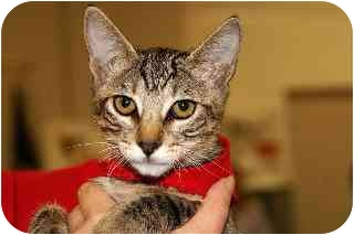 Domestic Shorthair Kitten for adoption in Englewood, Florida - Gizmo