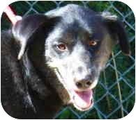 Australian Shepherd/Labrador Retriever Mix Dog for adoption in Toronto/Etobicoke/GTA, Ontario - Cheyenne