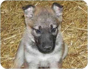 German Shepherd Dog Mix Puppy for adoption in Salem, New Hampshire - Apple
