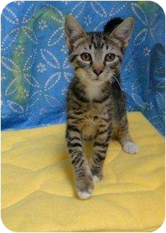 Domestic Shorthair Kitten for adoption in Orlando, Florida - Ren