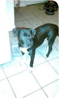 American Staffordshire Terrier Puppy for adoption in Sacramento, California - Tazz-loving pup