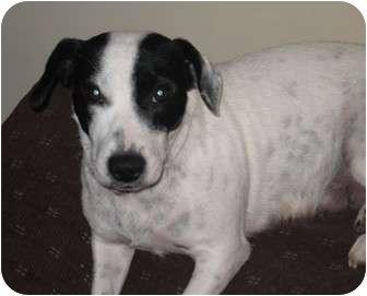 Jack Russell Terrier/Basset Hound Mix Dog for adoption in Cincinnati, Ohio - Rya