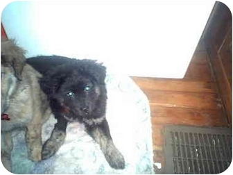 Chow Chow/Shepherd (Unknown Type) Mix Puppy for adoption in Wauseon, Ohio - Pepper..ADOPTED