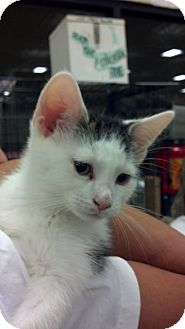 Domestic Shorthair Kitten for adoption in Pittstown, New Jersey - Max