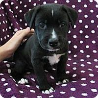 Adopt A Pet :: Bear - Cathedral City, CA