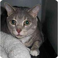 Adopt A Pet :: Payton DECLAWED - Chesapeake, VA