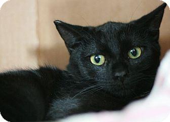 Domestic Shorthair Cat for adoption in Canoga Park, California - Blackie