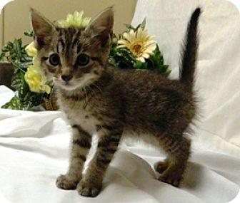 Domestic Shorthair Cat for adoption in Columbus, Nebraska - Zane