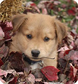 Shepherd (Unknown Type) Mix Puppy for adoption in Cary, North Carolina - Thunder--NEW