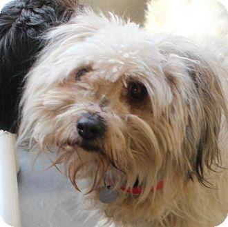 Poodle (Miniature) Mix Dog for adoption in Atlanta, Georgia - Avery