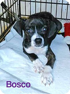 Boston Terrier/Beagle Mix Puppy for adoption in House Springs, Missouri - Bosco