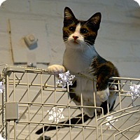 Adopt A Pet :: Lilly Boy - Brooklyn, NY