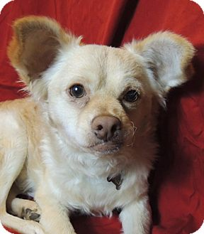 Chihuahua/Poodle (Miniature) Mix Dog for adoption in San Leandro, California - Wally