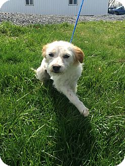 Wirehaired Fox Terrier Mix Dog for adoption in Covington, Virginia - Freckles
