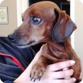 Dachshund Dog for adoption in Houston, Texas - Buck Buckaroo
