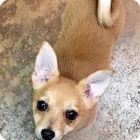 Adopt A Pet :: Chuck Norris - Los Angeles, CA