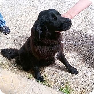 Spaniel (Unknown Type)/Labrador Retriever Mix Dog for adoption in Toronto, Ontario - RIO