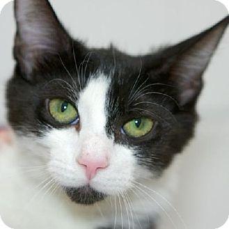 Domestic Shorthair Kitten for adoption in Salem, Massachusetts - Lily