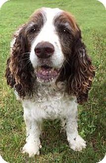 English Springer Spaniel Dog for adoption in Minneapolis, Minnesota - Tootsie