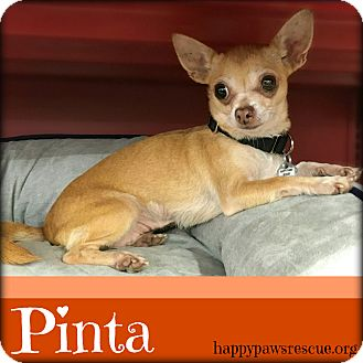 Chihuahua Mix Dog for adoption in South Plainfield, New Jersey - Pinta