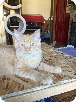 Domestic Shorthair Kitten for adoption in Salem, Ohio - sarafina