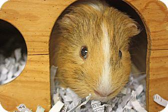 Guinea Pig for adoption in Harrisonburg, Virginia - Nike